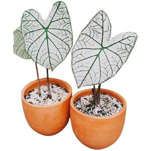 """ต้นบอนสีขาว """"ราชินีใบไม้"""" (ฉายาอิเหนา) ต้นไม้ฟอกอากาศ ต้นไม้มงคล"""
